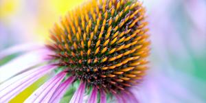 echinacea-300x150